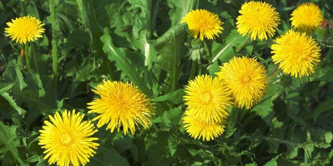 Edible plants: Dandelion
