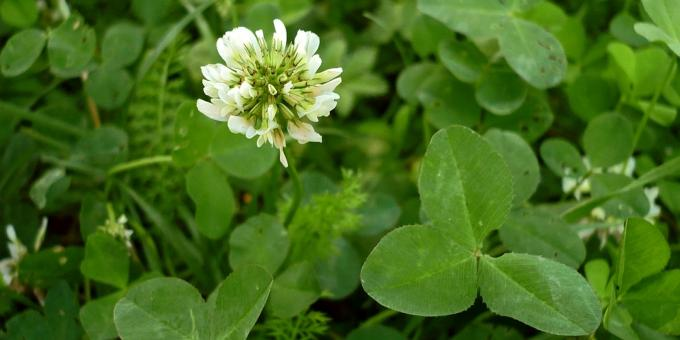 Edible plants: Clover