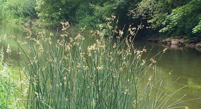Edible Plants: Reed