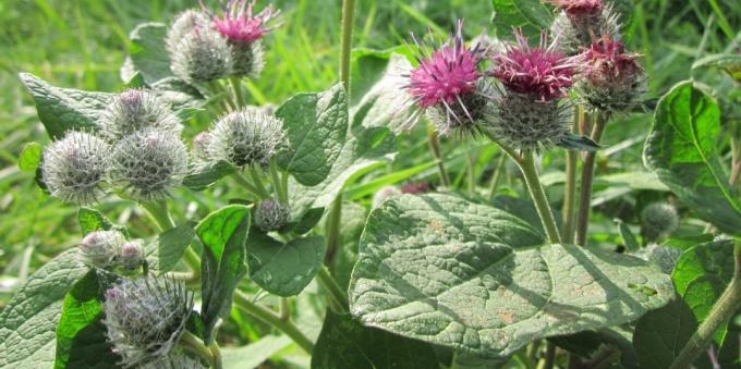 Edible plants: Burdock