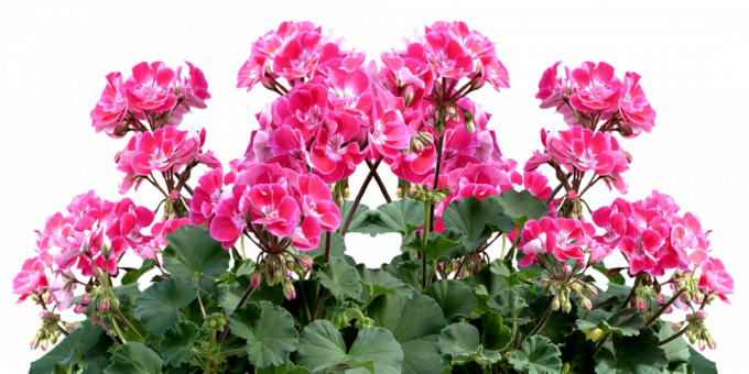 Unpretentious room plants: Pelargonium