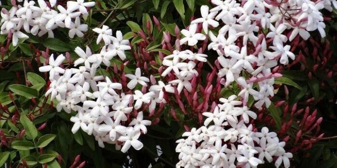 Undemanding houseplants: Jasmine Room