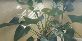 How to care for anthurium